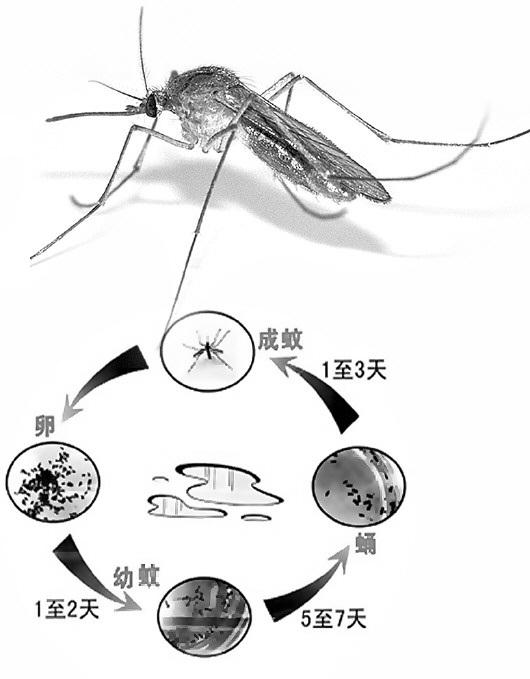 蚊的發育過程